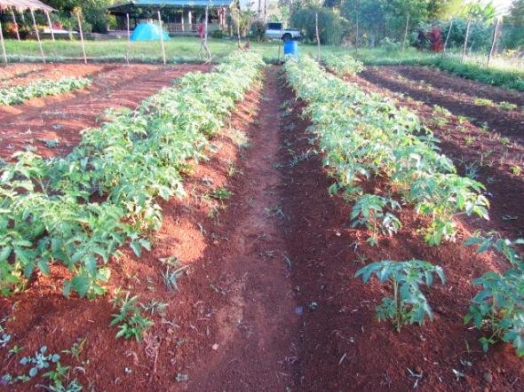 Tomatoes next to them strawberries.